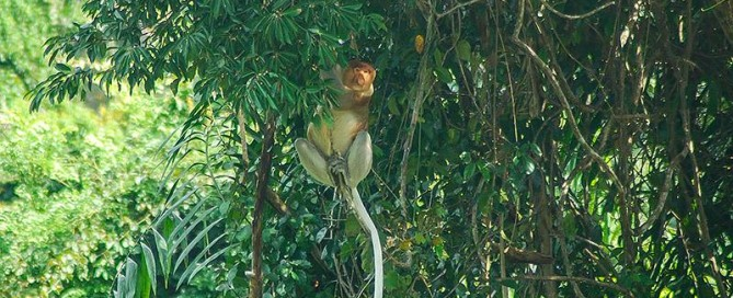 proboscis monkey, old world primate, downbelow marine and wildlife adventures, premier padi 5 star idc dive centre, klias river, kinabatangan river, land below the wind, sabah, borneo, gaya island, tunku abdul rahman marine park, wildlife