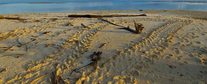 selingan island, sabah, borneo, sea turtle, downbelow marine and wildlife adventures, kinabatangan river,