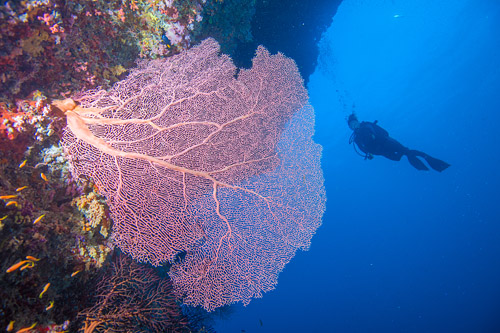 Stunning fan Corals Mabul