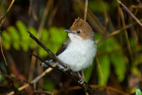 Birds of Kinabalu Park