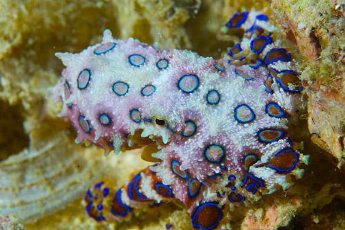 Blue Ring Octopus Kapalai Resort