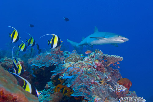 Black Tip Reef Sharks are very common at Sipadan Kapalai Dive Resort