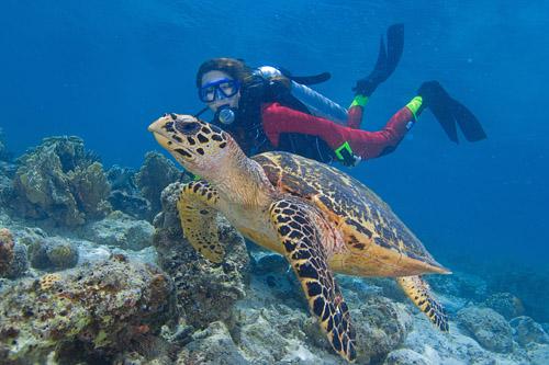 Swimming with Turtles is Common around Sipadan Kapalai Dive Resort