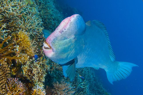 Parrot Fish are Frequently Encountered