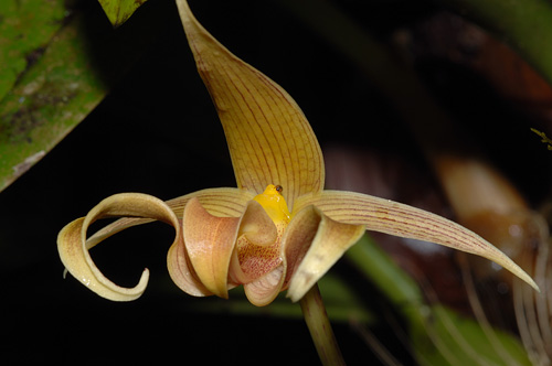 Slipper Orchid Kinabalu Park