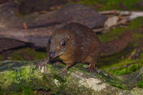 Mountain Shrews Kinabalu