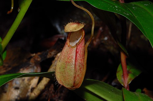 Nepenthes Plant Kinabalu Park