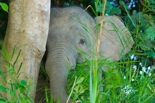 Pygmy Elephant on Kinabatangan River