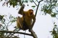 Proboscis Monkey Fireflies Tour